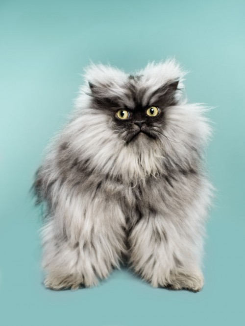 Colonel Meow portrait by photographer John Keatley.